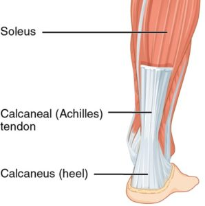 An Achilles tendon attached to the heel and calf (Soleus).