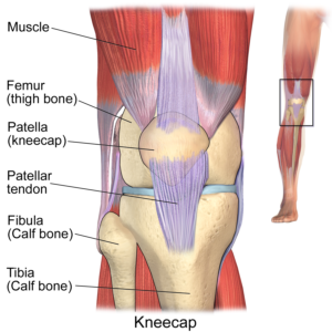 an image of the muscular and skeletal structure of the knee, including the patella