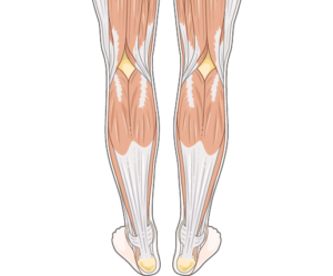 muscles and tendons in the calf and ankle
