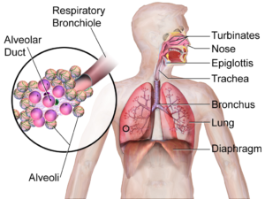 Diagram of the respiratory system including the diaphragm, lunch, and trachea