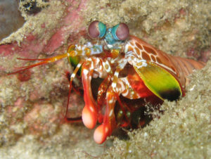 Rainbow colored mantis shrimp on ocean floor, with two white clubs visible.