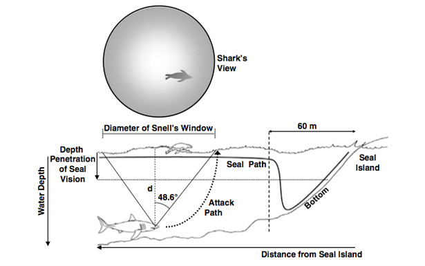 Schematic of geometry and optics of great white shark attacks on cape fur seals from Martin and Hammerschlag - not to scale