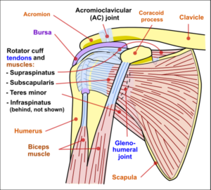 graphic of a shoulder joint with muscles, tendons, and bones labelled