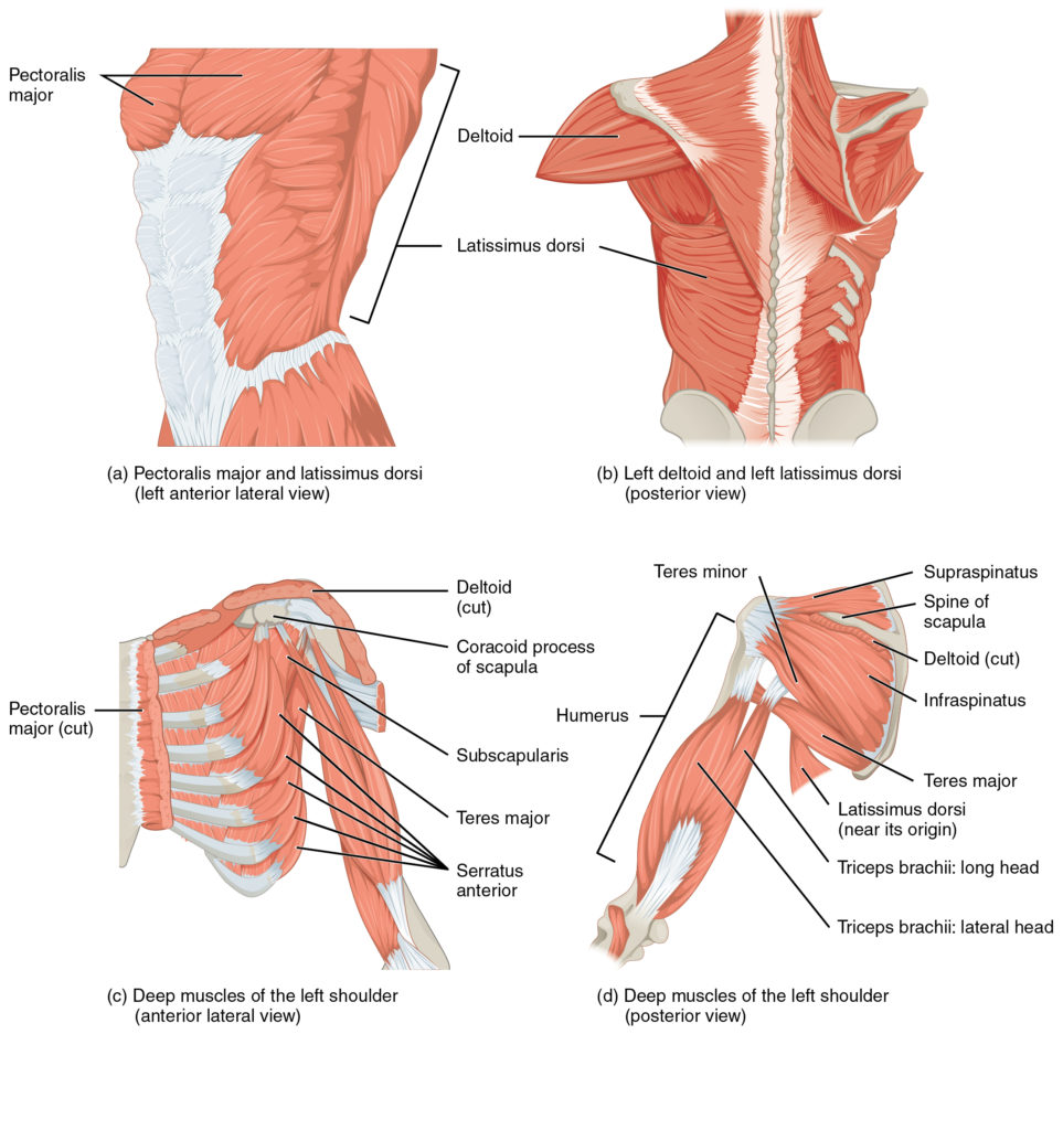 Diagram of a human upper body muscular system.