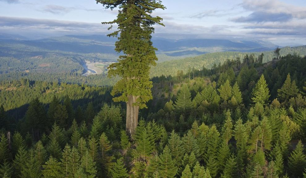 An image of Hyperion, the worlds tallest tree, rising hundreds of feet above its neighbors
