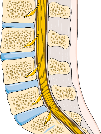Computer generated image of a healthy lumbar spine