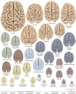 Brain cortex of 34 different species which indicates relative size and foldedness