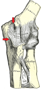 Tendons in the elbow joint, with the Ulnar Collateral Ligament marked