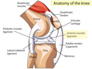 labelled structure of the knee. Shows the quadricep muscles, quadricep tendons, patella, femur, tibia, fibula, Patellar tendon, meniscus, MCL, PCL, LCL, and ACL