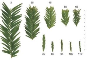 A diagram showing the decreasing size of pine needle branch segments. They decrease dramatically as height increases.