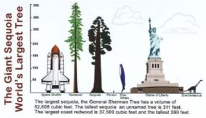 A diagram showing a space shuttle, which when prepared to launch is less than half the height of Hyperion, General Sherman, a wider but slightly shorter tree of a different family sequoia, a blue whale that is much shorter than either tree, and the statue of liberty, whose torch barely comes close to the shorter of the two trees