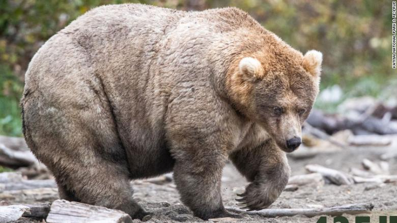 A very fat grizzly bear standing on rocks.