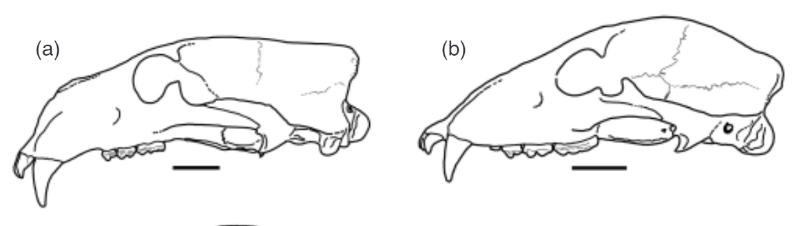 Two line drawings of skulls, one of a polar bear and a grizzly bear