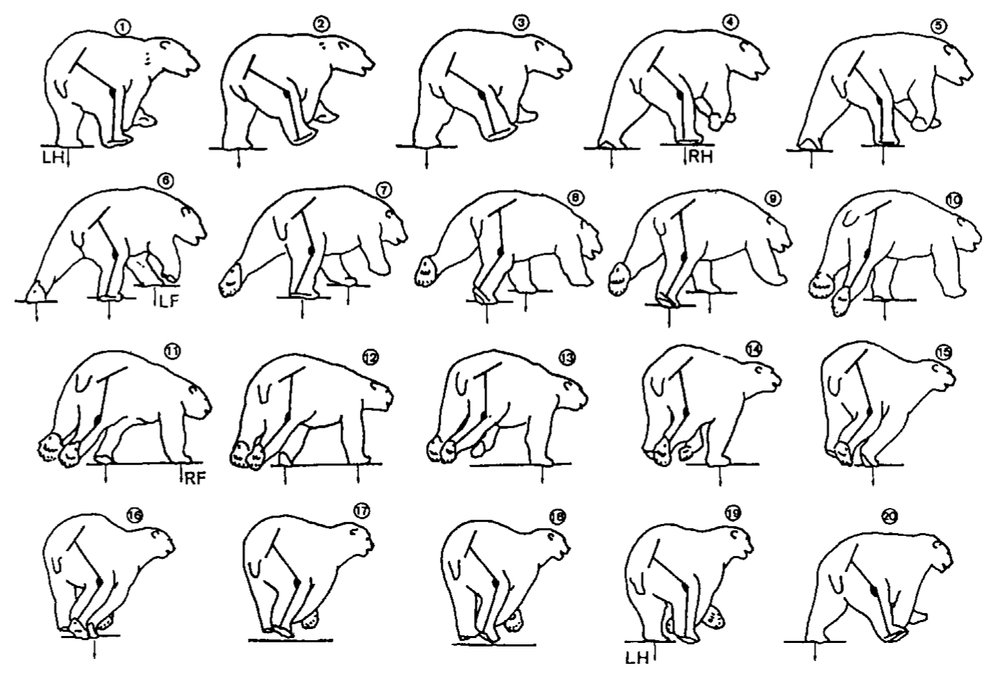 A series of drawings depicting the gait of a galloping polar bear.