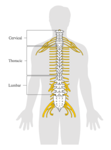 An image of the spine with the three regions labeled: cervical (upper region), thoracic (middle region), lumbar (lower region)