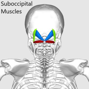 Human suboccipital muscles located underneath the back edge of the skull.