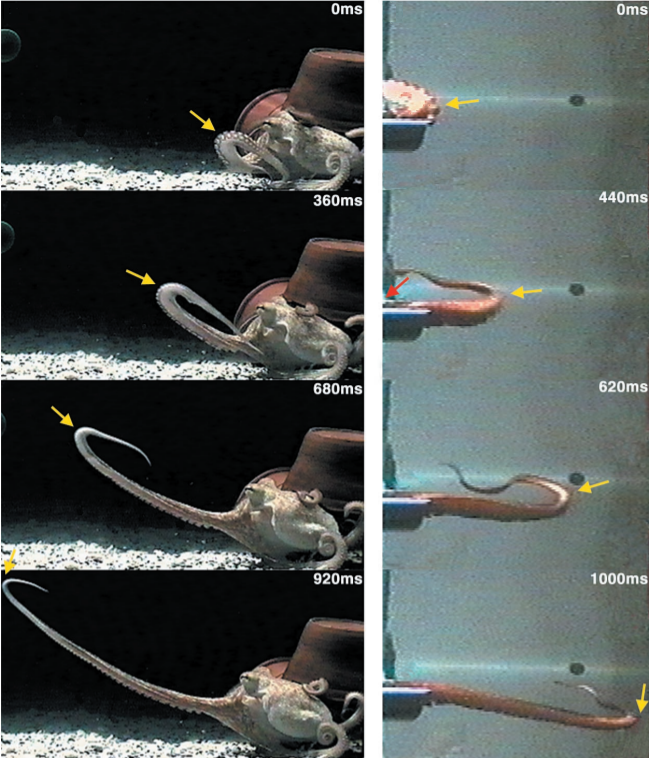 There are two columns of images. The left shows an octopus outstretching its arm over the course of 920 seconds. An arrow tracks the movement of a bend in the arm that travels along the arm until it is fully stretched out. The right column shows a single, detached octopus arm outstretching over a similar time frame. The single tentacle follows a similar movement pattern as the original octopus' arm. Another arrow also follows a similar bend that travels along the single arm as it stretches out.