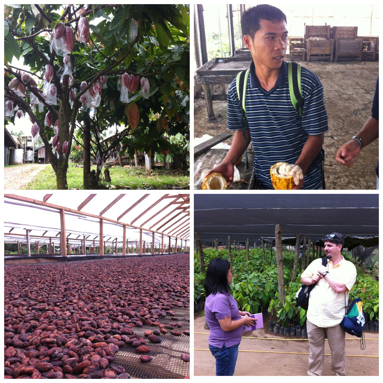 Clockwise from upper left: Cacao pods are covered in plastic to repel insects, a cacao technician shows us the wet beans inside a cacao pod, cacao solar-drying beds, Mike Kinsella (MBA) speaks with a rep. from Kennemer Foods in front of cacao seedlings.