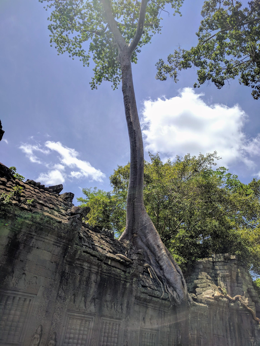A tall tree growing off the side of a temple at Angkor Archaeological Park