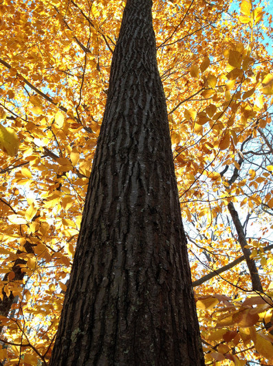 Classic red oak bark, bronzed. Photo: N. Pederson