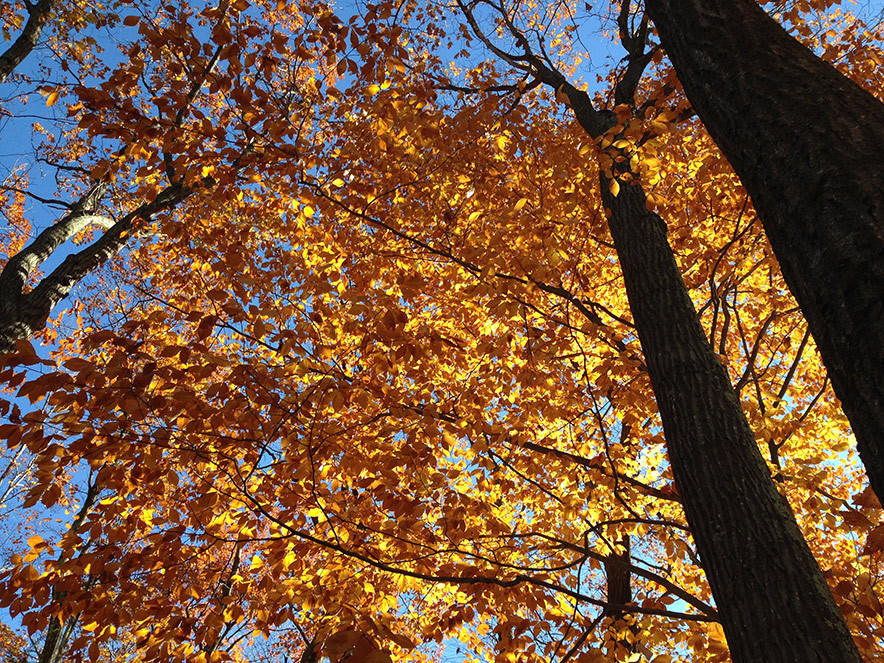 Bronzed Canopy. Photo: N. Pederson
