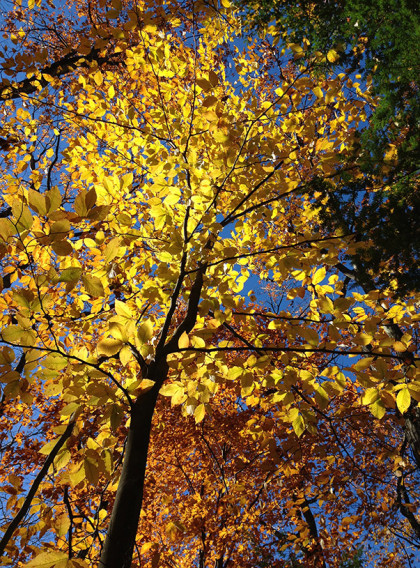 Glowing American beech (Fagus grandifolia). Photo: N. Pederson