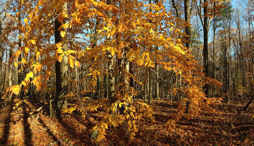 American beech. Photo: N. Pederson