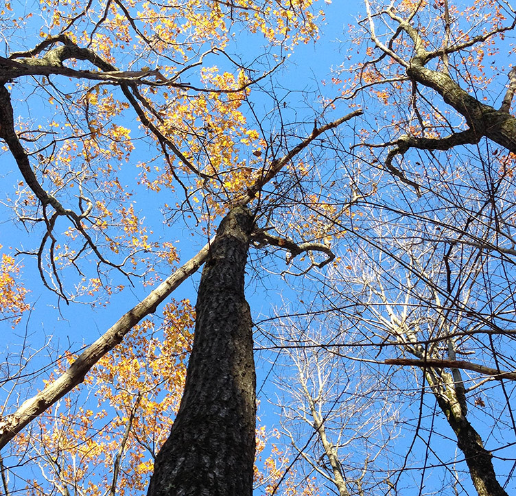 Black oak reaching for the upper canopy among towering northern red oaks. Photo: N. Pederson