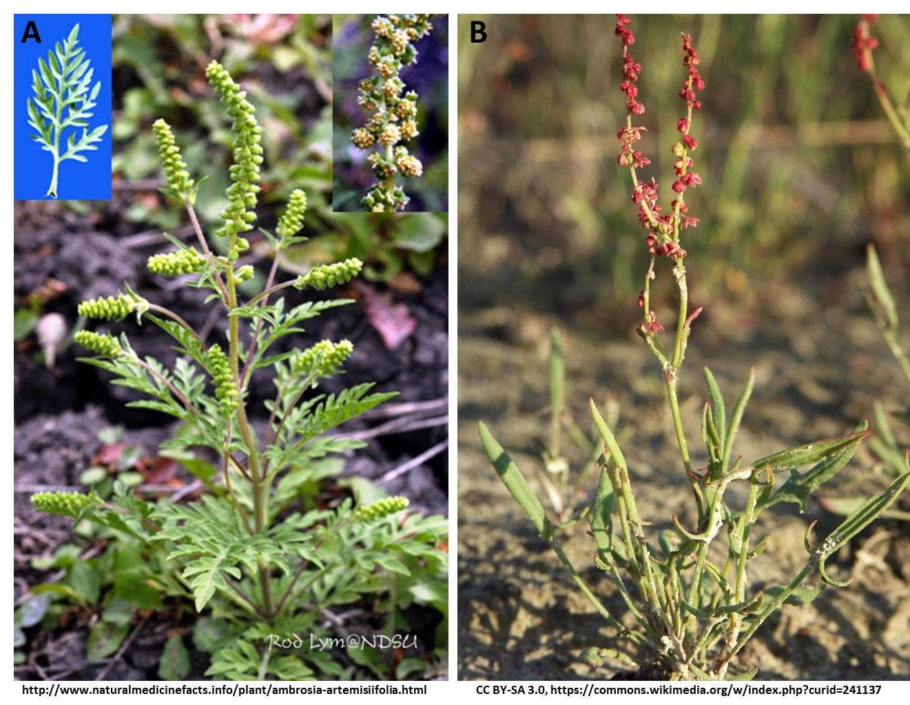 Images of A) ragweed and B) sheep sorrel.