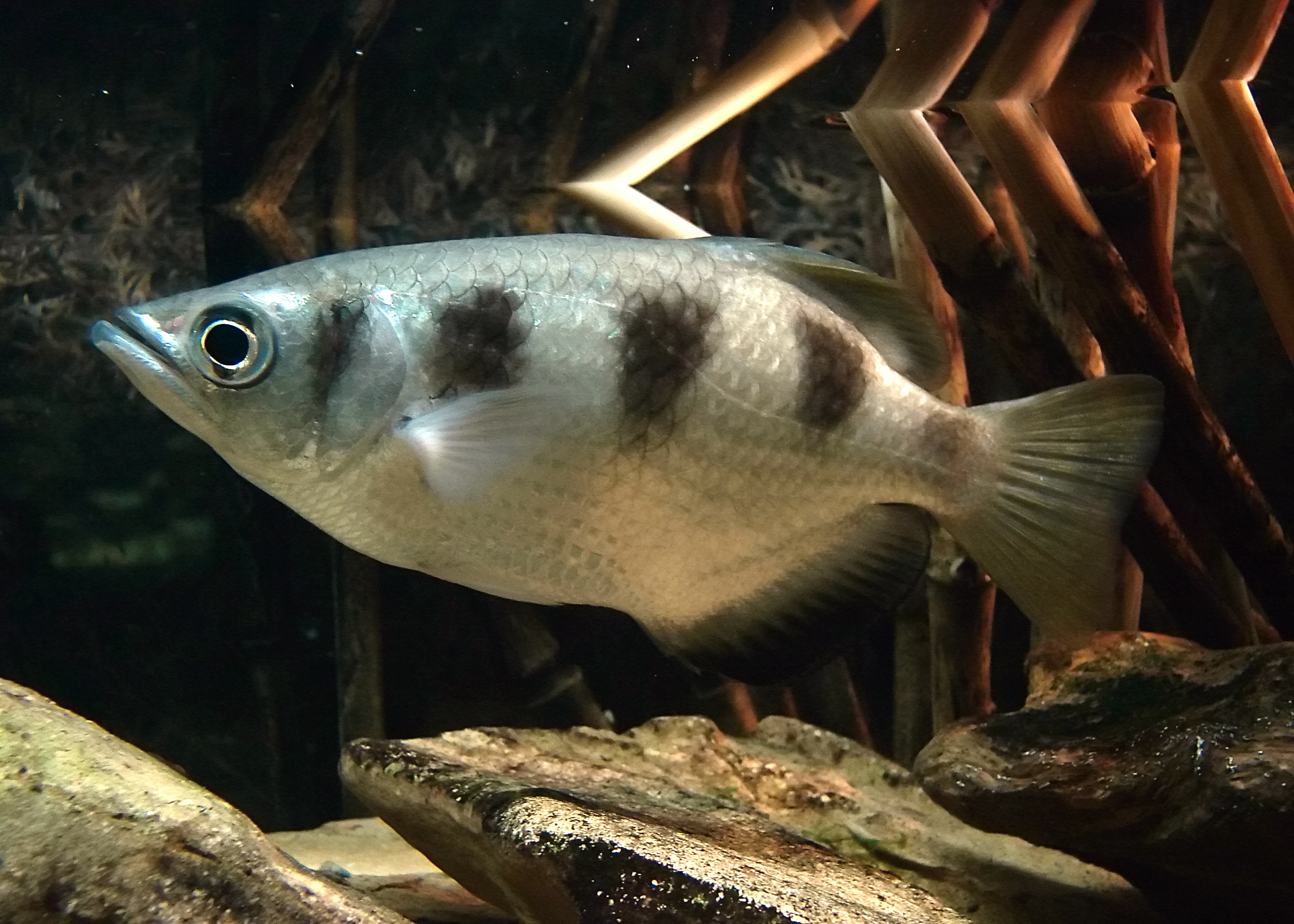 Picture of an archerfish swimming