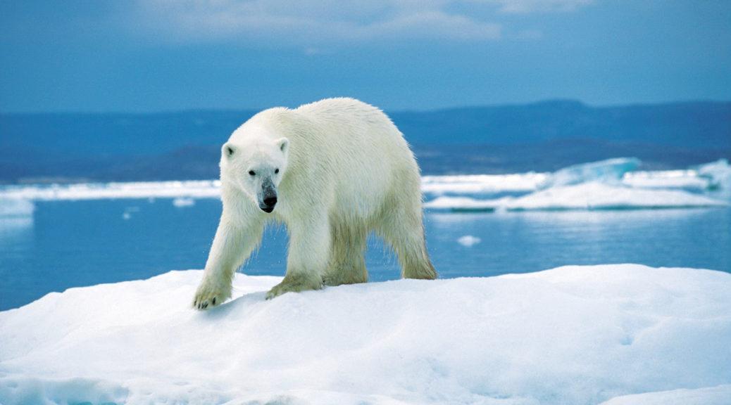 A polar bear walking on ice in the Artctic.