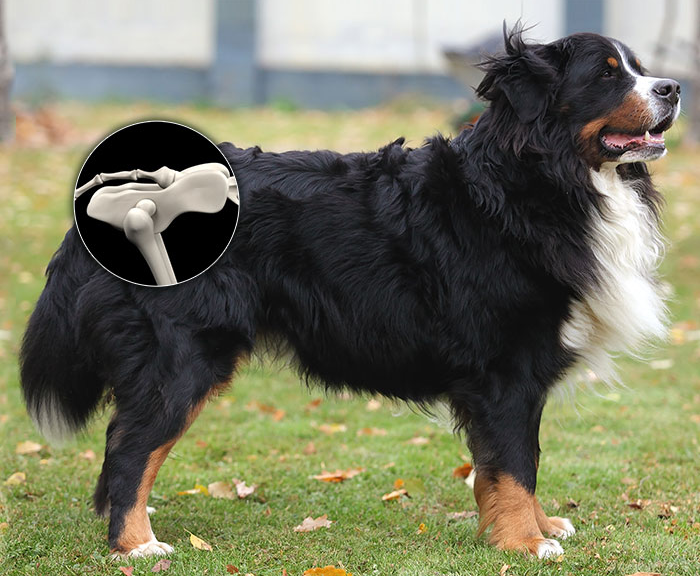 Bernese mountain dog with superimposed image of hip ball and socket joint.