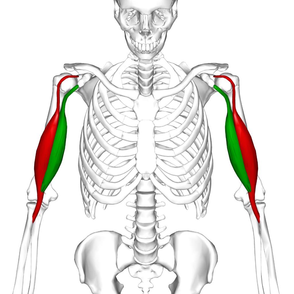Biceps brachii highlighted in color on skeletal diagram.