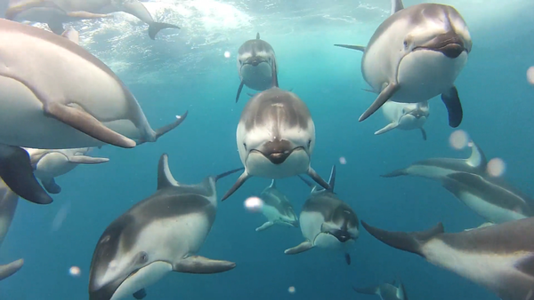 A pod of dolphins swimming together