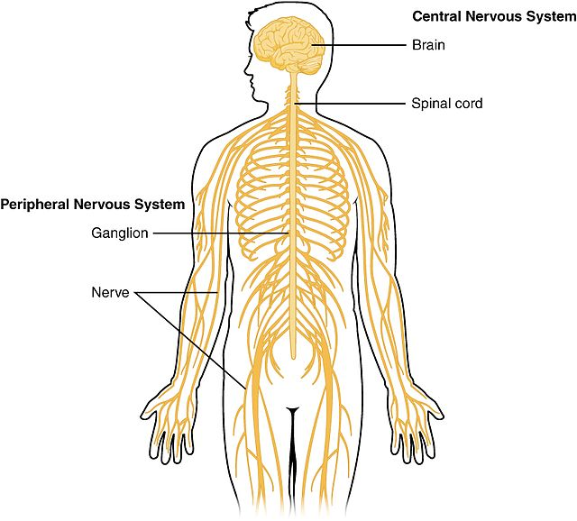 Diagram of the central and peripheral nervous system showing how the spinal cord connects the brain to nerves that run throughout the body