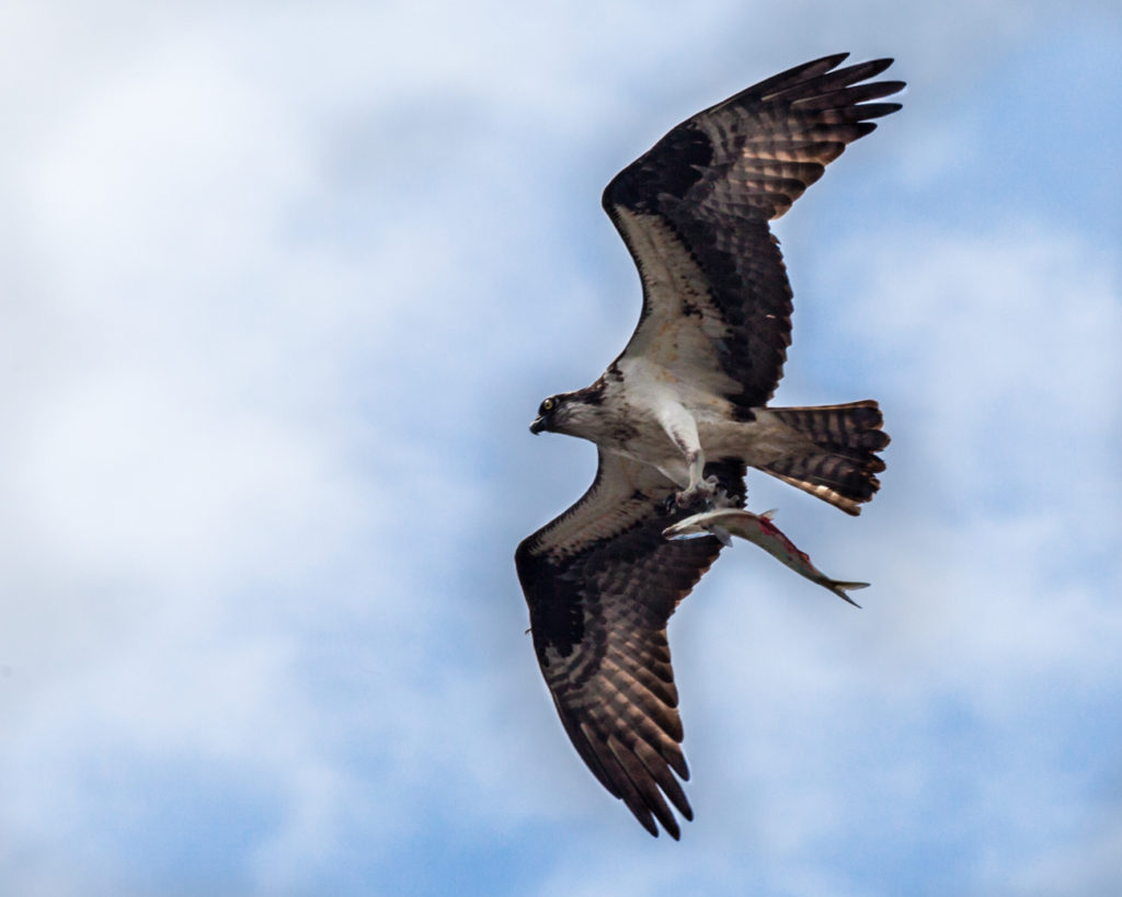 An osprey folding its wings in while catching a fish