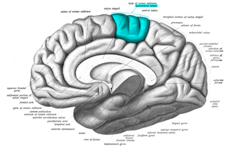 Shows the location of the somatosensory cortex in the brain. The somatosensory cortex is a part of the forebrain in the parietal lobe, located near the top of the brain.