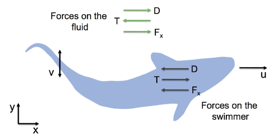 Force Diagram, showing that the same forces that the swimming mammal applies to water are applied back on it. Allows observation of max speed to determine these forces.