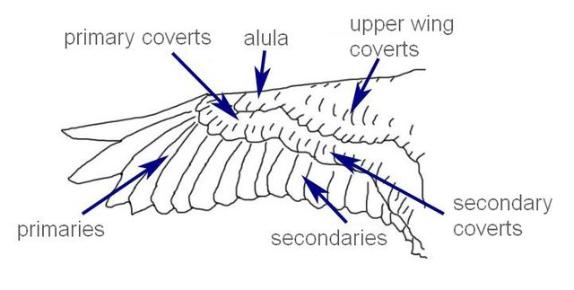 A diagram of the structure of a bird wing