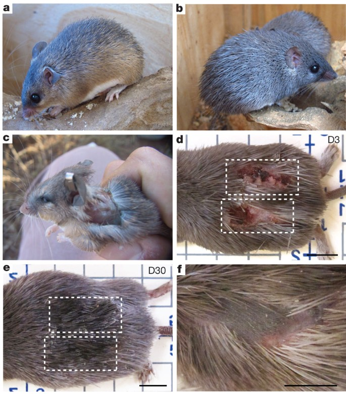 African spiny mice in a research lab have spiny hair shown in (a) and (b). A skin wound was administered to a mouse in (c). Scabbing has occurred over the full injury as seen in (d) by Day 3. By Day 30, the original wound has healed and new hair follicles have been regenerated as seen in (e) and (f).