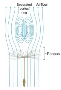 vortex ring above pappus