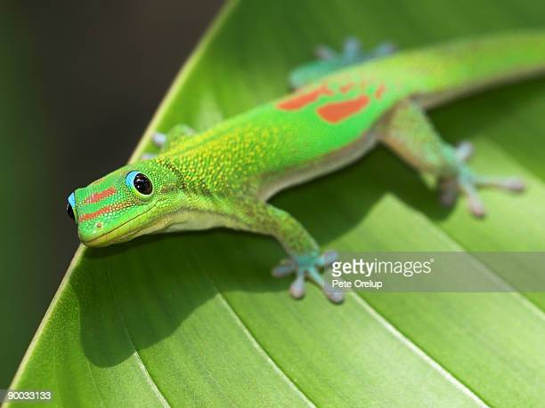 A green gecko on a leaf. https://www.gettyimages.com/photos/gecko?phrase=gecko&sort=mostpopular
