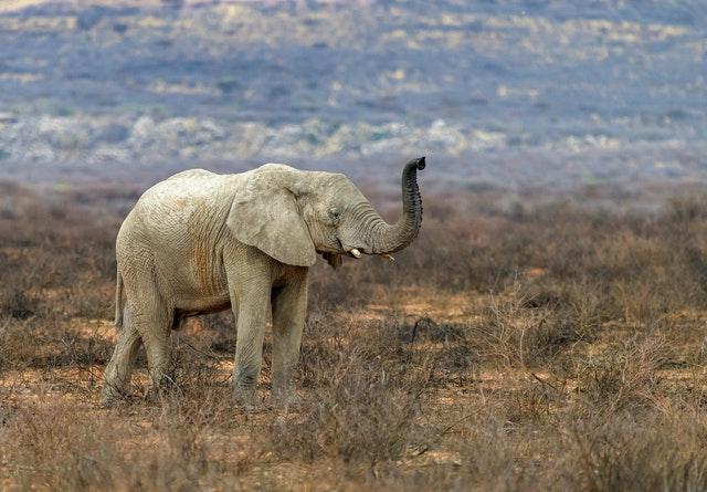 African Elephant raising tusk