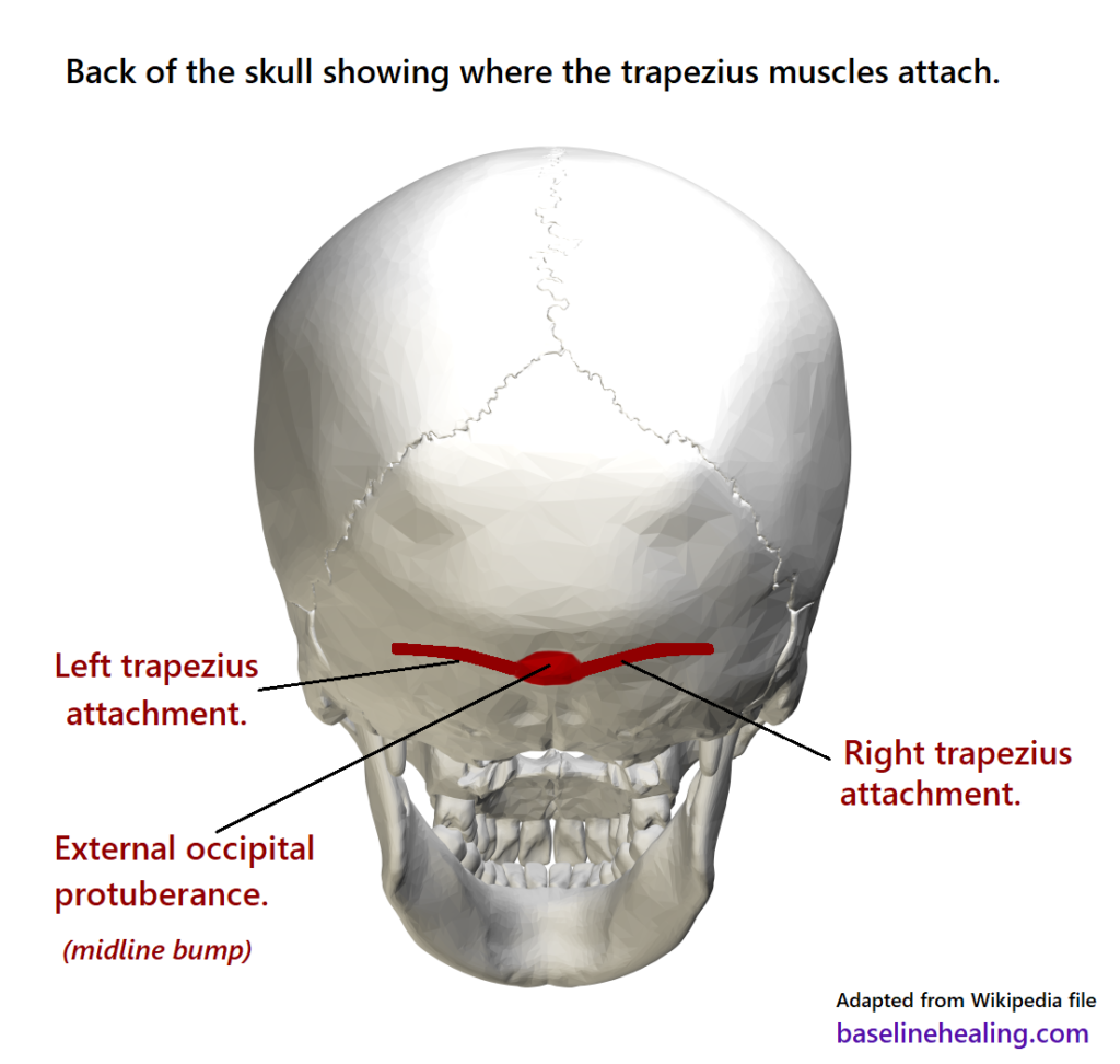 Back of the skull showing where the trapezius muscle attaches.