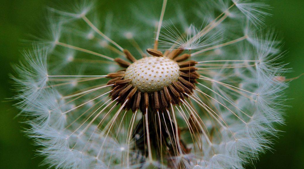 Dandelion pappus
