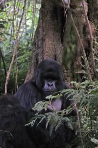 Gorilla Kurt