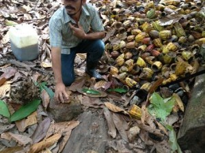 Justino explains the cacao harvesting process