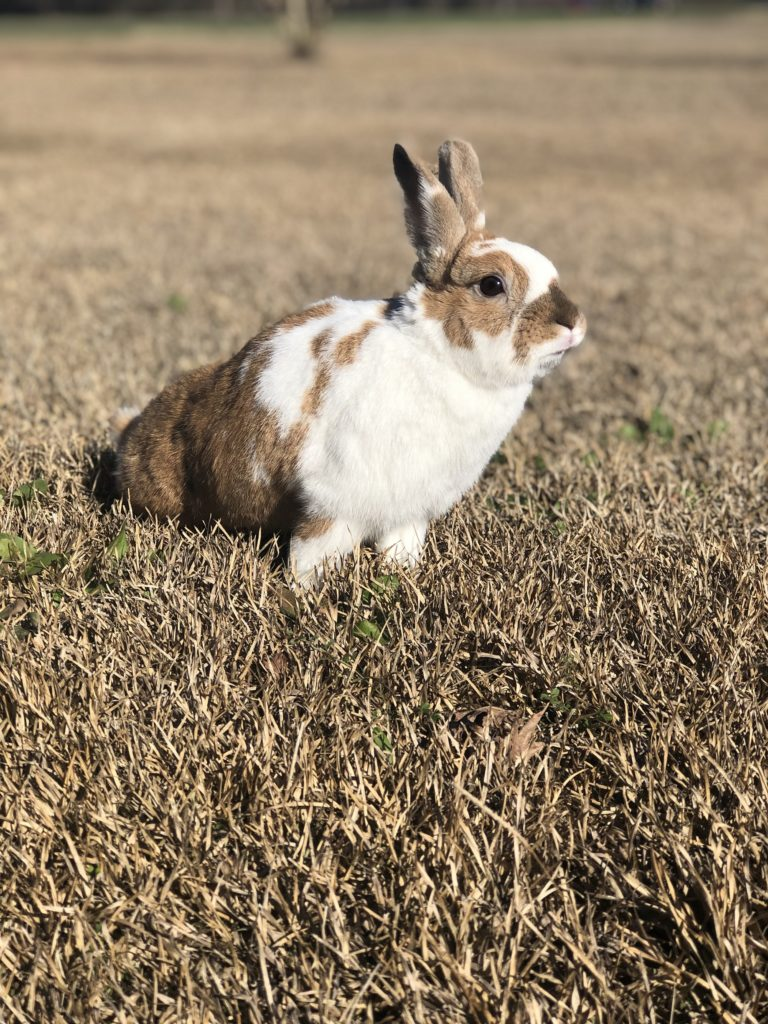 A tan and white spotted Dutch rabbit in a field of grass looking left with ears up.