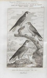 Buffon falcon pl13