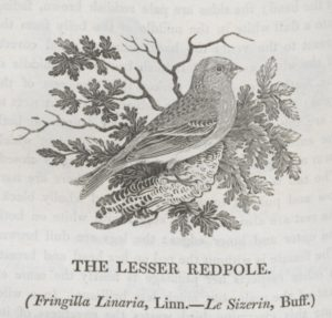 Image of Lesser Redpole of Thomas Bewick
